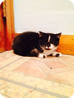 Domestic Shorthair Kitten for adoption in Pittstown, New Jersey - Orio
