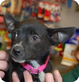 Chihuahua Mix Puppy for adoption in Brooklyn, New York - Gene
