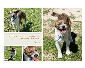 Schnauzer (Miniature)/Terrier (Unknown Type, Medium) Mix Dog for adoption in Lufkin, Texas - PJ