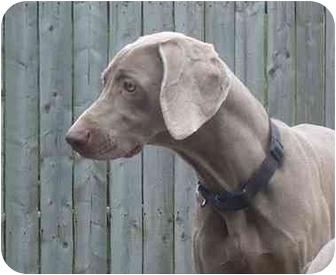 Weimaraner Dog for adoption in Grand Haven, Michigan - Sophia