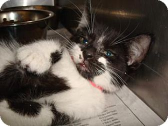Domestic Shorthair Cat for adoption in Miami, Florida - Kiki