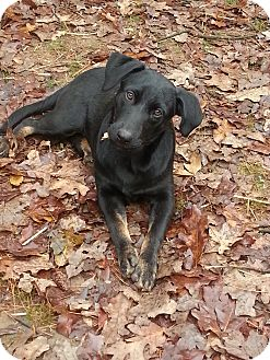 Labrador Retriever Mix Puppy for adoption in Cranford, New Jersey - Cadie