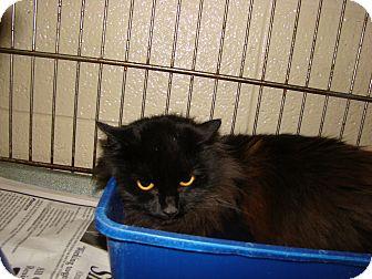 Domestic Mediumhair Kitten for adoption in Henderson, North Carolina - Ginger