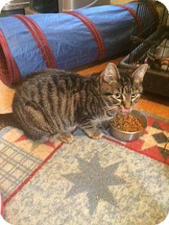 Domestic Shorthair Cat for adoption in Overland Park, Kansas - Star