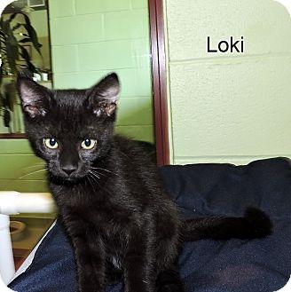 Domestic Shorthair Kitten for adoption in Slidell, Louisiana - Loki