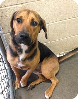 Labrador Retriever Mix Dog for adoption in Greensburg, Pennsylvania - Damien