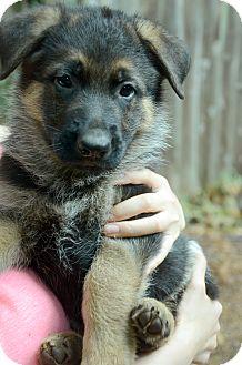 German Shepherd Dog Puppy for adoption in Woodinville, Washington - Lance (BLUE)