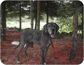 Great Dane Dog for adoption in Ortonville, Michigan - Silas