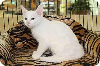 Domestic Shorthair Kitten for adoption in Hamilton., Ontario - eddie