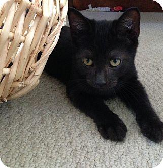 Domestic Shorthair Kitten for adoption in Toledo, Ohio - Midnight