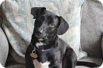 Dachshund/Jack Russell Terrier Mix Dog for adoption in Toronto, Ontario - Harper