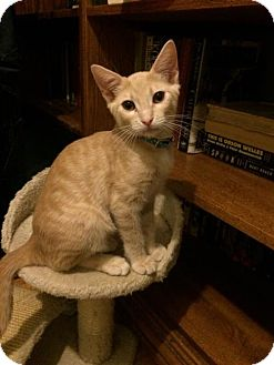 Domestic Shorthair Cat for adoption in Long Beach, California - Hector