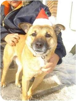 Finnish Spitz Mix Dog for adoption in BRIDGEPORT, Connecticut - Cubby Bear