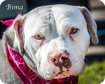 Pit Bull Terrier Mix Dog for adoption in Lancaster, Texas - Bima - URGENT