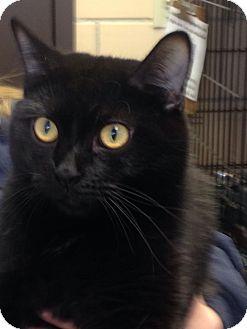 Domestic Shorthair Cat for adoption in Renfrew, Pennsylvania - Yuffie
