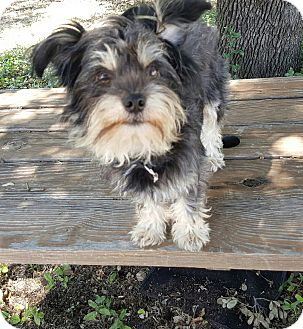 Miniature Schnauzer Dog for adoption in Frisco, Texas - BUBBA- HAS BEEN ADOPTED