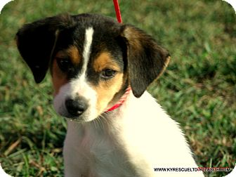 Border Collie/Beagle Mix Puppy for adoption in parissipany, New Jersey - CHARLIE