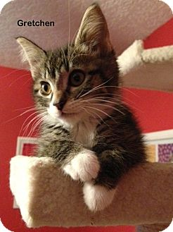 Domestic Shorthair Kitten for adoption in Portland, Oregon - Gretchen