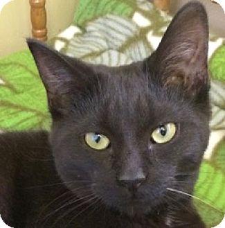 Domestic Shorthair Kitten for adoption in White Cloud, Michigan - Guido