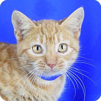 Domestic Shorthair Kitten for adoption in Carencro, Louisiana - Dawson