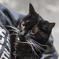 Adopt A Pet :: Stella - St Helena, CA