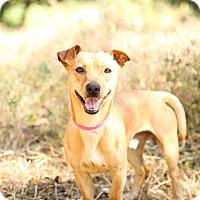 Adopt A Pet :: Scooby - Auburn, CA