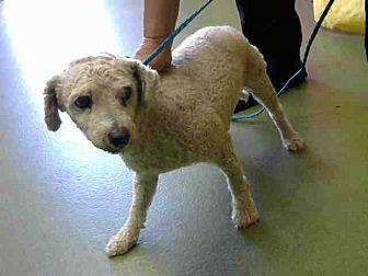 Poodle (Miniature) Mix Dog for adoption in San Bernardino, California - URGENT on 8/11@DEVORE San Bern