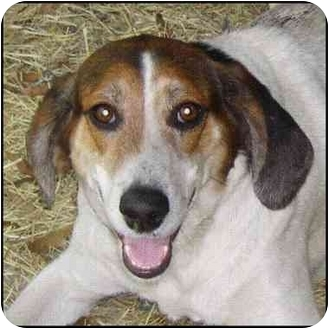 Treeing Walker Coonhound Mix Dog for adoption in Tallahassee, Florida - Sunshine