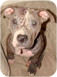 American Pit Bull Terrier Mix Dog for adoption in Rochester/Buffalo, New York - Karma