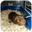 Photo 1 - Guinea Pig for adoption in Huntingdon, Pennsylvania - Ms. Poindexter