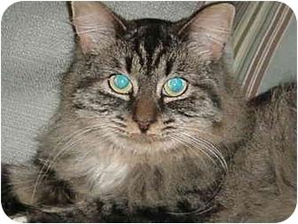 Domestic Mediumhair Cat for adoption in Chesapeake, Virginia - Maxxie