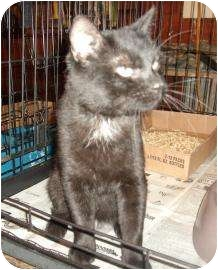 Domestic Shorthair Cat for adoption in Larned, Kansas - Samson