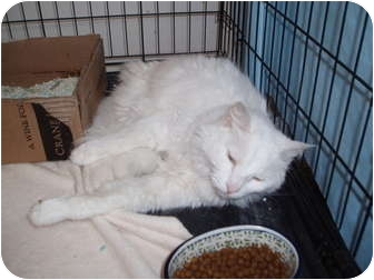 Domestic Longhair Cat for adoption in Westfield, Massachusetts - Stormy