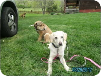 Labrador Retriever Mix Puppy for adoption in Manchester, Tennessee - Marley