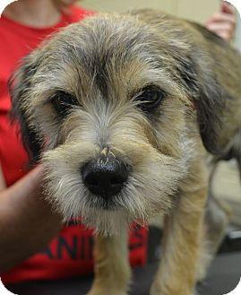Schnauzer (Miniature) Mix Puppy for adoption in Spring Valley, New York - Butch