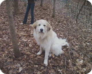 Great Pyrenees Dog for adoption in Gainesville, Georgia - Bandit
