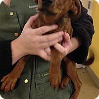 Adopt A Pet :: Juniper - Lancaster, OH