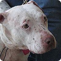 Adopt A Pet :: Freckles - Arlington, TX