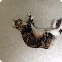 Adopt A Pet :: Pounce - Lancaster, MA