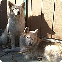 Adopt A Pet :: Blizzard - Canoga Park, CA