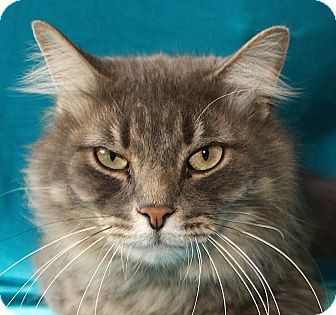 Maine Coon Cat for adoption in Jackson, Michigan - Marty
