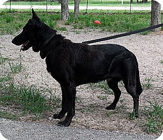 German Shepherd Dog Dog for adoption in SAN ANTONIO, Texas - NICO