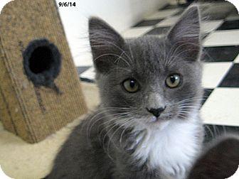 Domestic Shorthair Kitten for adoption in Republic, Washington - Chimp