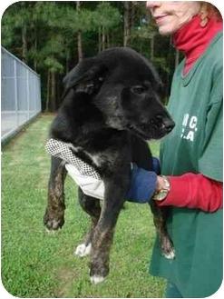 Labrador Retriever/Shepherd (Unknown Type) Mix Puppy for adoption in Hammonton, New Jersey - Jana