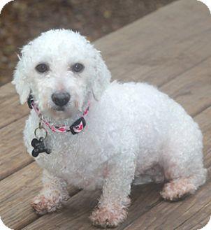 Bichon Frise/Poodle (Miniature) Mix Dog for adoption in Allentown, Pennsylvania - Phyllis