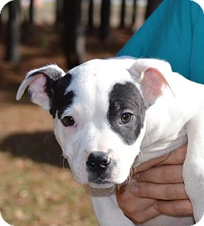 Boxer Mix Puppy for adoption in East Windsor, Connecticut - Pablo-adoption in progress