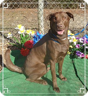 Labrador Retriever Mix Dog for adoption in Marietta, Georgia - DALLAS