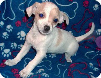 Chihuahua Mix Puppy for adoption in Sunset Hills, Missouri - Venus