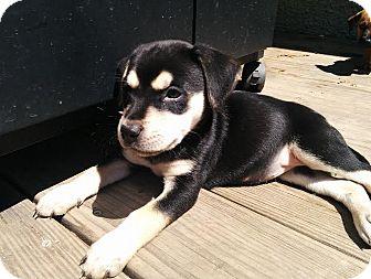 Labrador Retriever Mix Puppy for adoption in Hainesville, Illinois - Honolulu