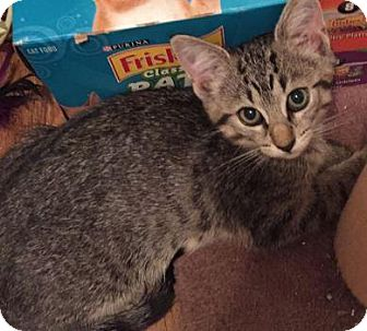 Domestic Shorthair Kitten for adoption in Des Moines, Iowa - Tiger Lily